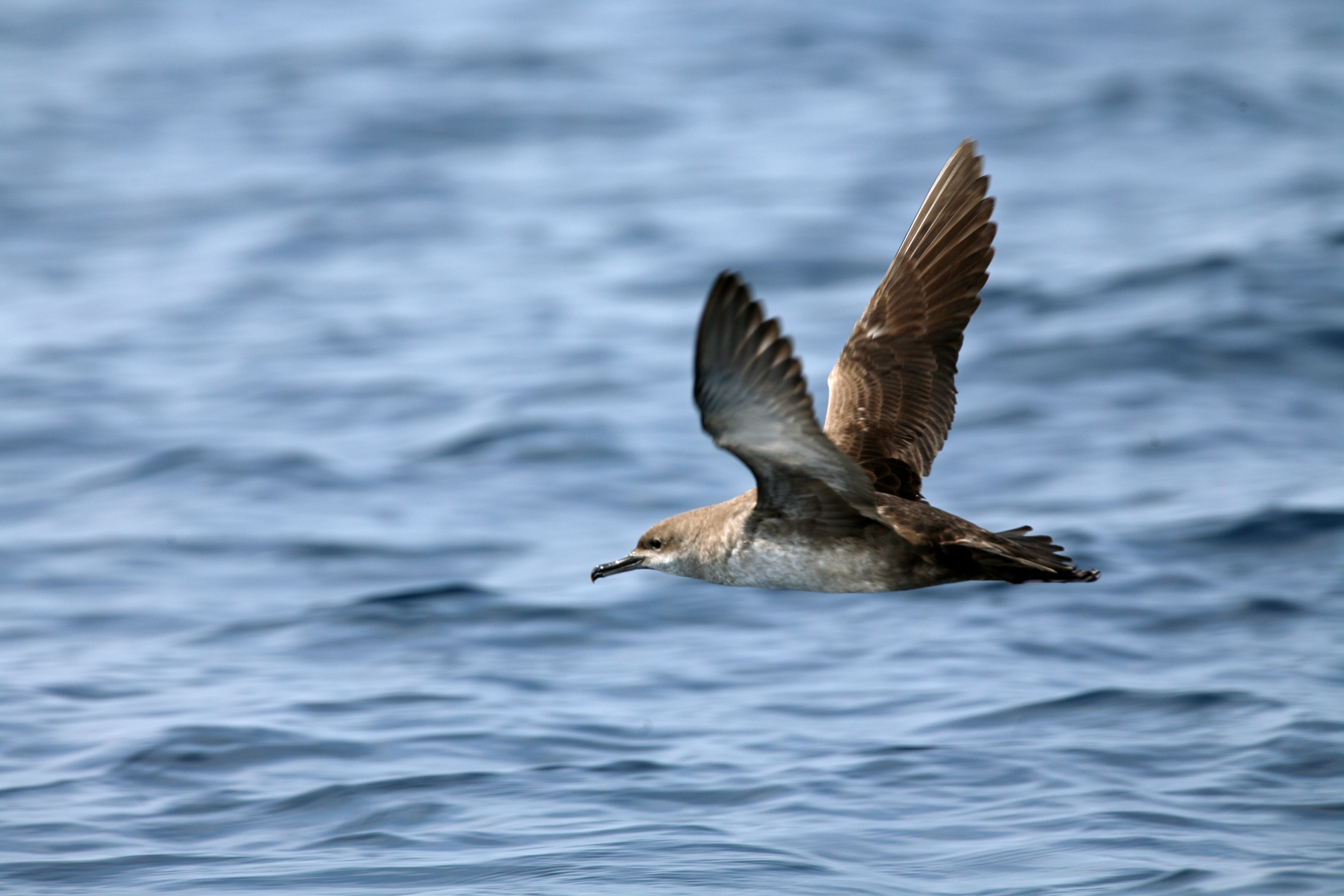 Seabirds. Recovery of the Balearic shearwater and other Balearic marine birds